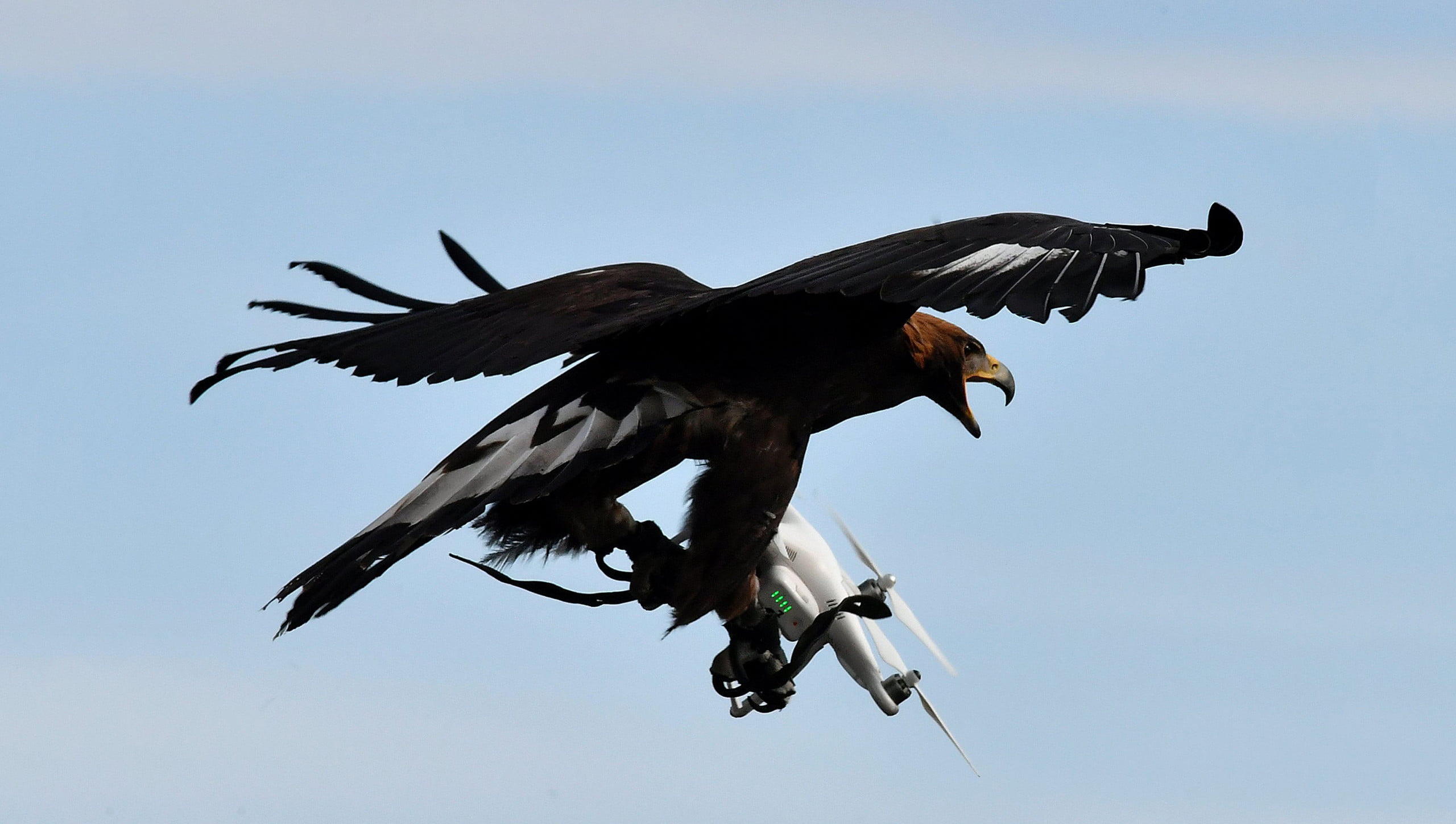 eagle drone capture